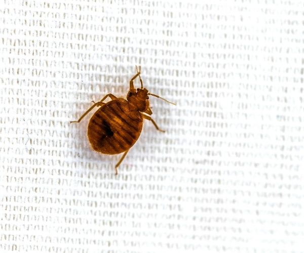 Bed Bug Extermination Mt Vernon IL