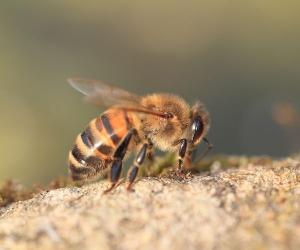 Honey Bee in Illinois