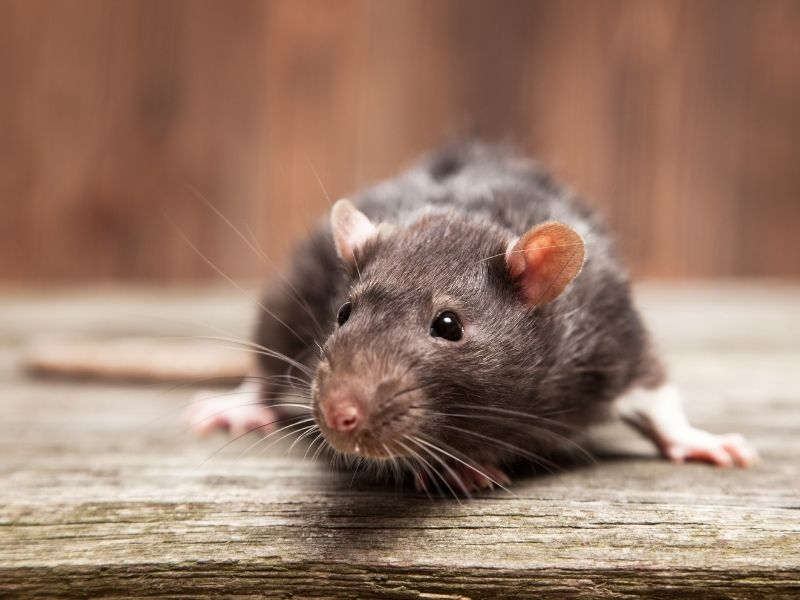 Mouse prevention and extermination southern IL