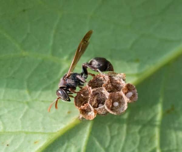 Paper Wasp IL