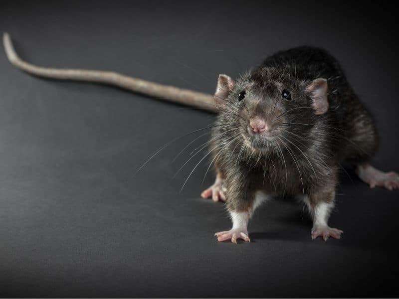 Rat Exterminator near IL